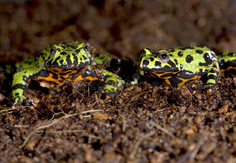 kumaki porcelany ogienia żaby zieleni Oriental kumaki zdjęcie royalty free