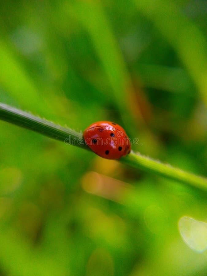 Kumbang lizenzfreies stockfoto
