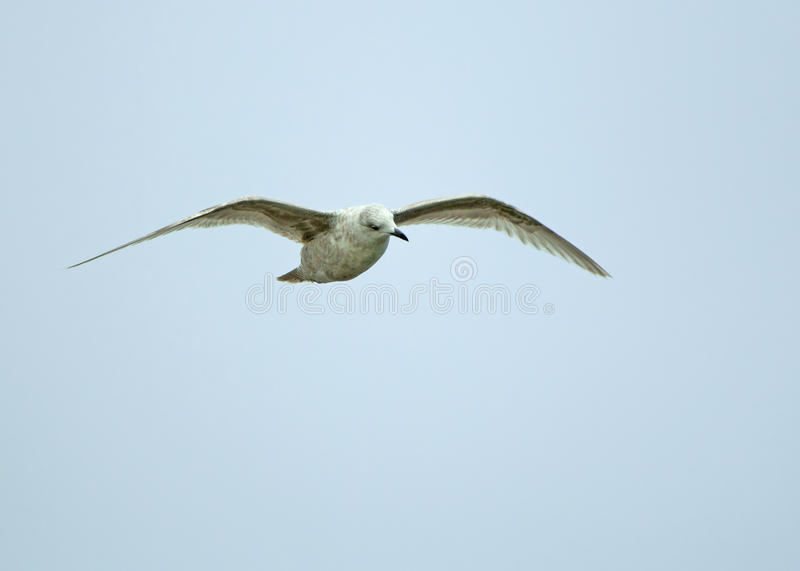 Download Kumlien's Gull stock photo. Image of spring, england - 39511472