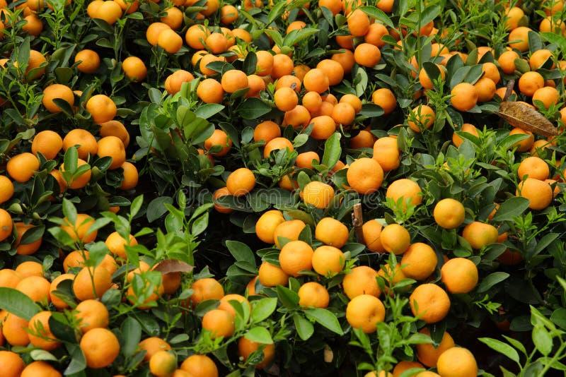 kumquat fotografia de stock