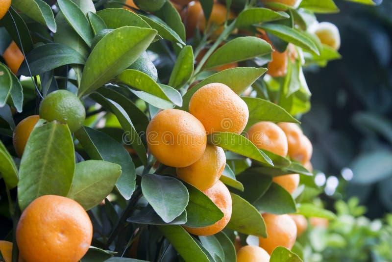 Kumquat fotos de stock