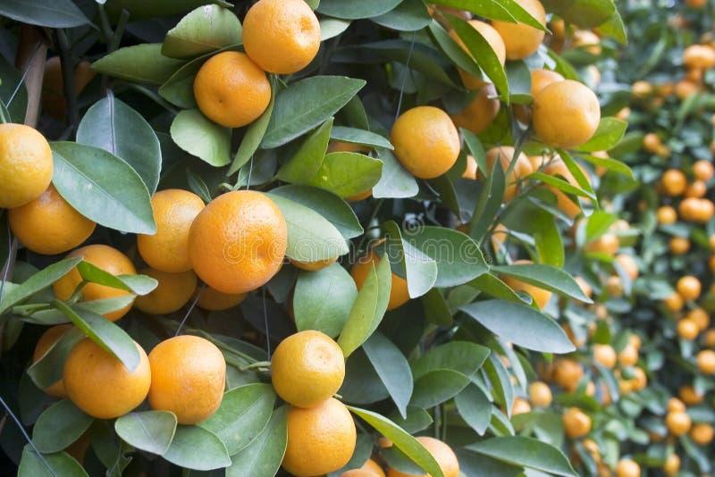 Kumquat foto de stock royalty free