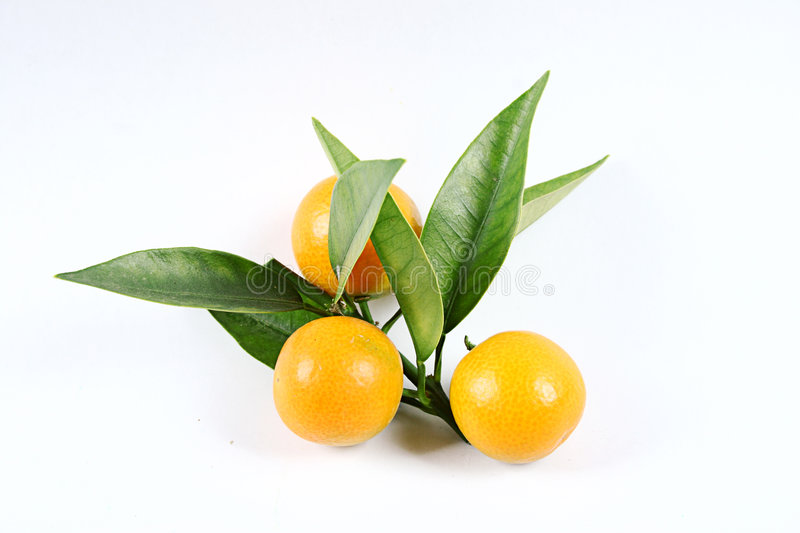 kumquat obrazy royalty free