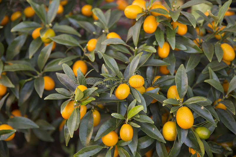 kumquat foto de stock royalty free