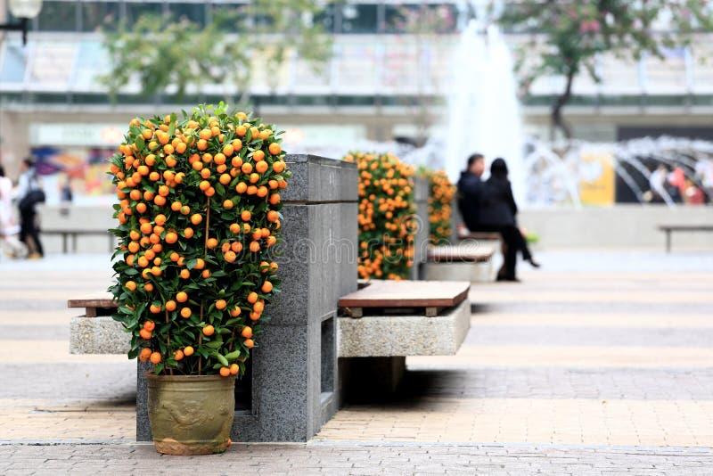 Kumquat chinês do ano novo foto de stock royalty free