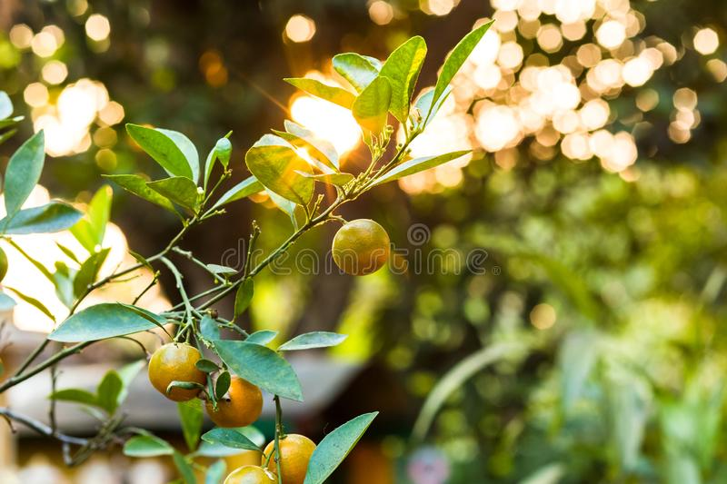 Kumquat fruits on the tree against blurred background stock photo