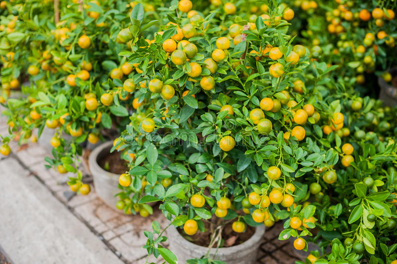 Kumquat, het symbool van Vietnamees maan nieuw jaar In bijna elk huishouden, omvatten de essentiële aankopen voor Tet dao a van p royalty-vrije stock foto's