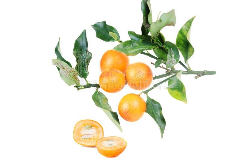 Kumquat isolado sobre no fundo branco Kumquats, cumquats smal fotografia de stock