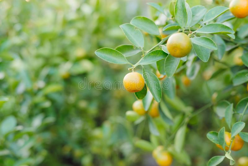Kumquat - las frutas son de uso frecuente para la exhibición durante el Año Nuevo lunar fotografía de archivo libre de regalías