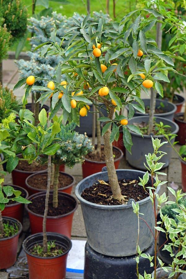 Kumquat na árvore fotos de stock