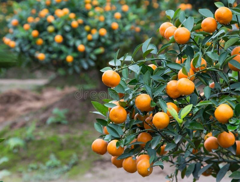 Kumquat, o símbolo do ano novo lunar chinês imagem de stock royalty free