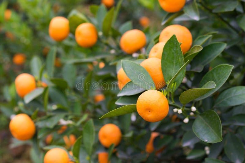 Kumquat, o símbolo do ano novo lunar vietnamiano Em quase cada agregado familiar, as compras cruciais para Tet incluem o pêssego  fotos de stock