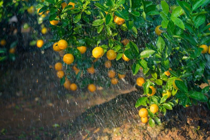 Kumquat, o símbolo do ano novo lunar vietnamiano Em quase cada agregado familiar, as compras cruciais para Tet incluem o pêssego  imagem de stock