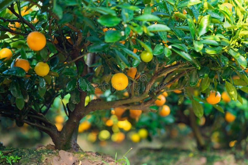 Kumquat, o símbolo do ano novo lunar vietnamiano Em quase cada agregado familiar, as compras cruciais para Tet incluem o pêssego  foto de stock