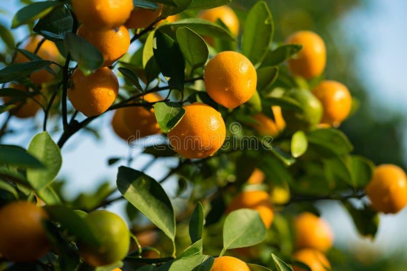 Kumquat, o símbolo do ano novo lunar vietnamiano Em quase cada agregado familiar, as compras cruciais para Tet incluem o pêssego  imagens de stock