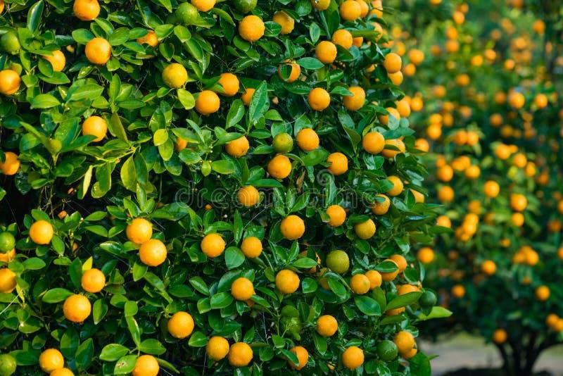 Kumquat, o símbolo do ano novo lunar vietnamiano Em quase cada agregado familiar, as compras cruciais para Tet incluem o pêssego  imagem de stock royalty free