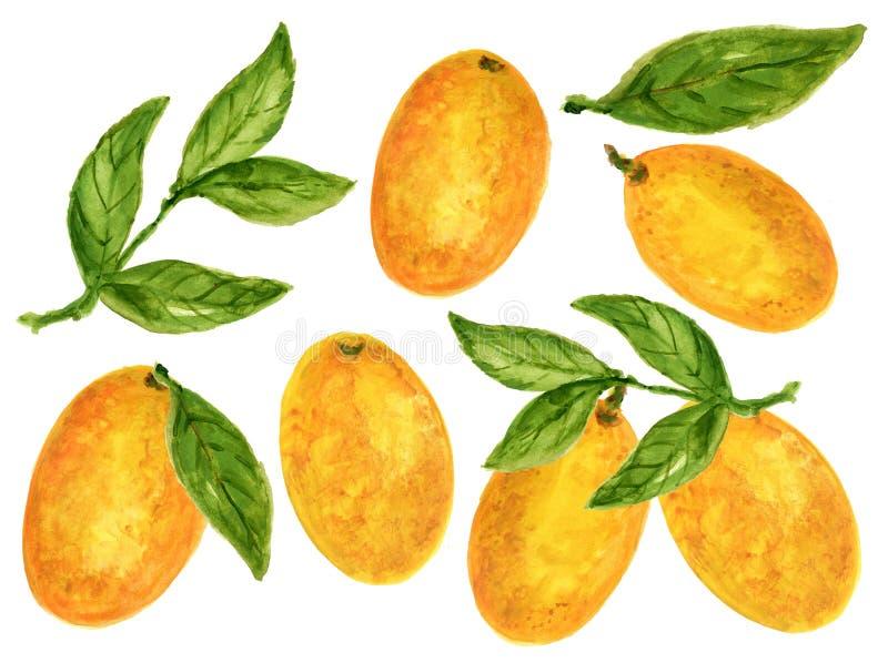Kumquat Oranje die van de illustratiecitrusvruchten van de Waterverfgouache de taksinaasappel op witte achtergrond wordt geïsolee vector illustratie