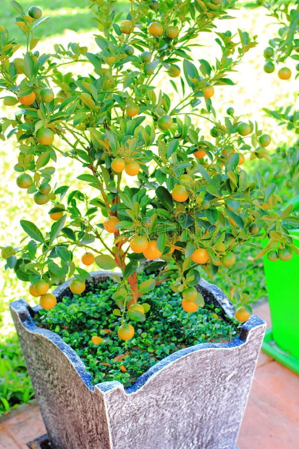 Kumquat ou limão tailandês fotografia de stock