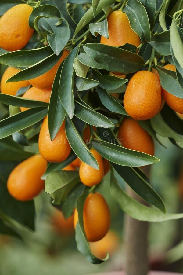 Kumquat sur l'arbre images stock
