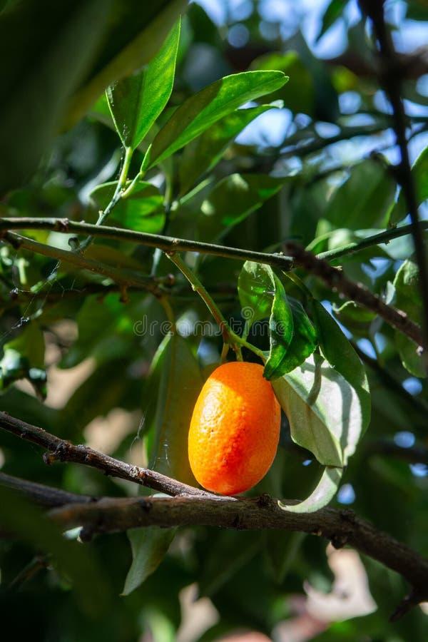 Kumquats alaranjados maduros pequenos tropicais das citrinas na árvore, fim fotografia de stock