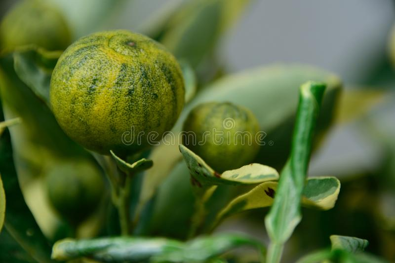 Kumquats als alkaliinstallaties stock afbeelding