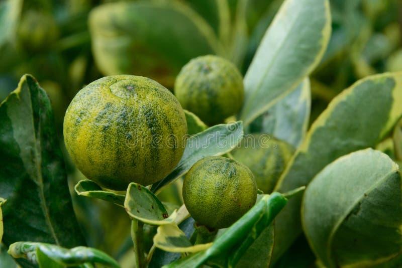 Kumquats als alkaliinstallaties royalty-vrije stock afbeeldingen