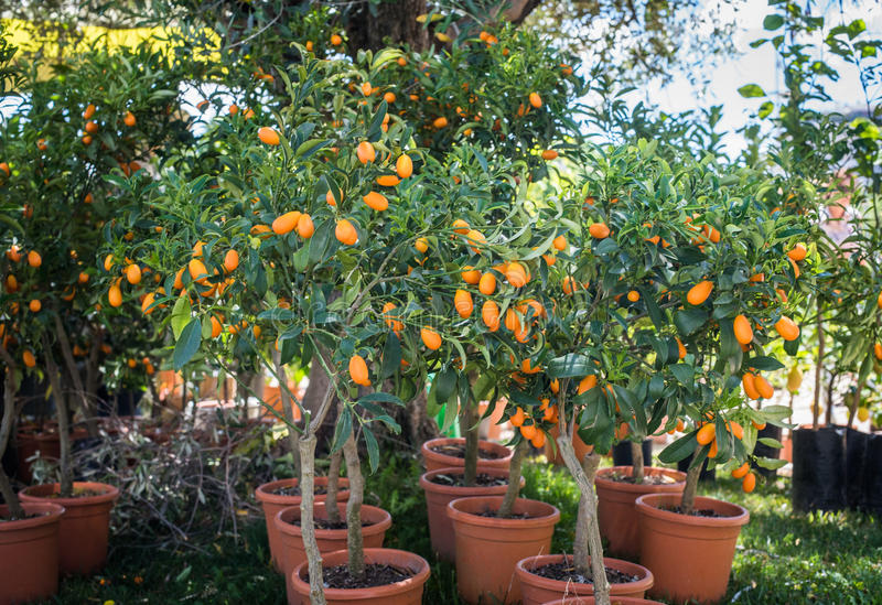 Kumquatträd i växtbarnkammare arkivfoton