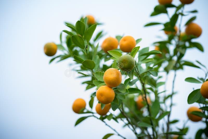Kumquatträd Samman med persikablomningträd är kumquaten en av 2 måste ha träd i vietnamesisk mån- ferie för nytt år i nord arkivfoto