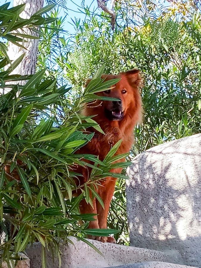 Kundla pies w wzrostach zdjęcie stock