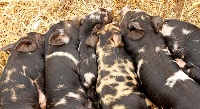 Download Kune Kune Piglets Sleeping Together To Keep Warm Stock Image - Image: 26974505