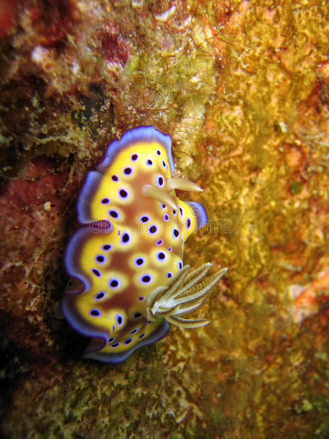 Download Kunei di Chromodoris fotografia stock. Immagine di macro - 221320