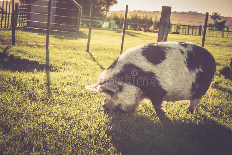 Kunekune猪在小牧场 库存图片