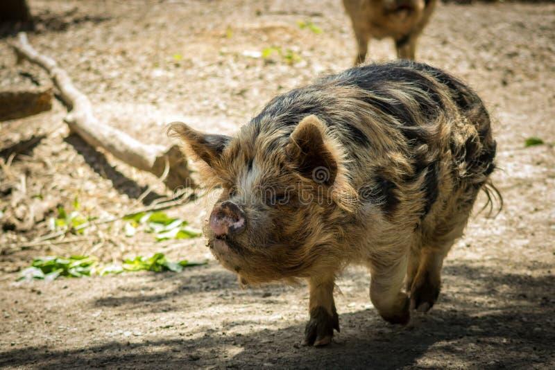 Kunekune som går, nyazeeländskt infött äta för svin arkivbild