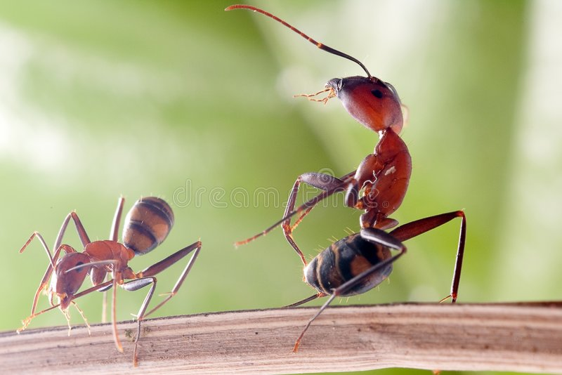 Kung-fu ANT. Camponotus rothneyi var.taivanae, it's close up ANT photo small one looks like use kung-fu strike the big one royalty free stock image