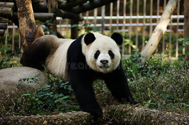 Kung Fu Panda photos libres de droits