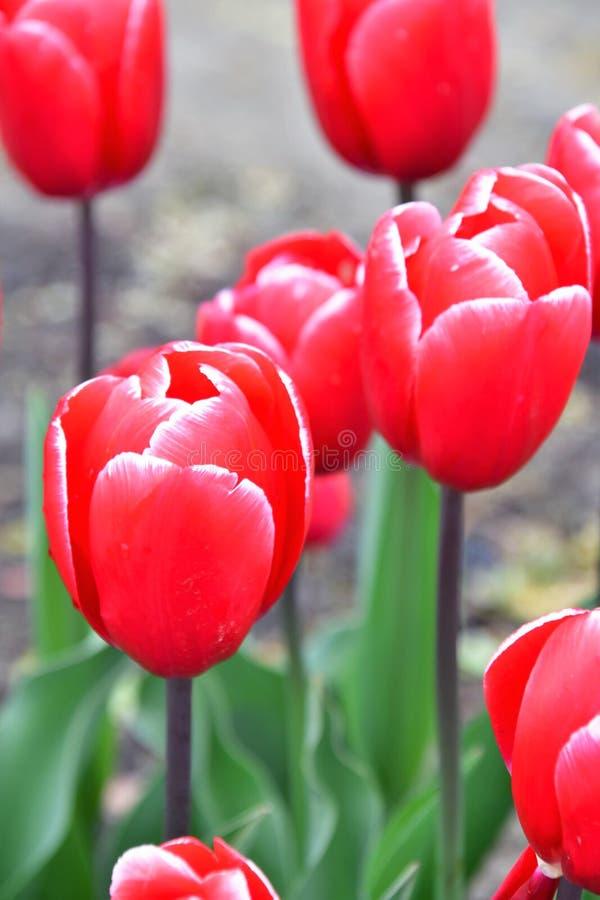 Kung-fu Tulipe de Triumph Fleur ros?tre-rouge profonde avec un bord blanc-rose mince images stock