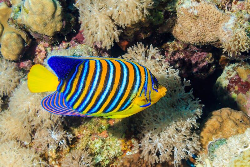 Kunglig ängelfisk fotografering för bildbyråer