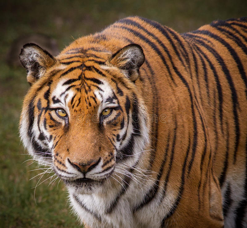 Kunglig bengal tiger arkivfoto