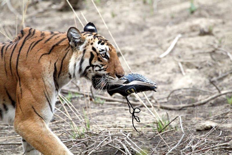 Kunglig bengal tigrinna arkivfoto
