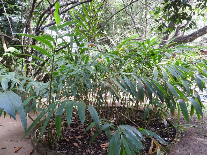 Kunglig botanisk trädgård i Kandy, Sri Lanka, grön flora på en klar solig dag royaltyfria bilder