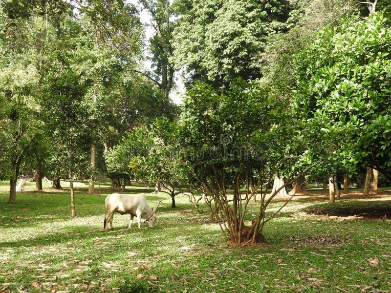 Kunglig botanisk trädgård i Kandy, Sri Lanka, grön flora på en klar solig dag arkivbilder