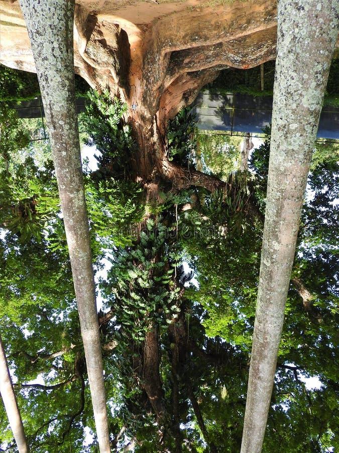 Kunglig botanisk trädgård i Kandy, Sri Lanka, grön flora på en klar solig dag royaltyfri bild
