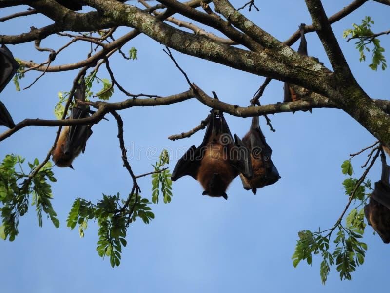 Kunglig botanisk trädgård Kandy Sri Lanka, klar solig dag, i gröna träd arkivbilder