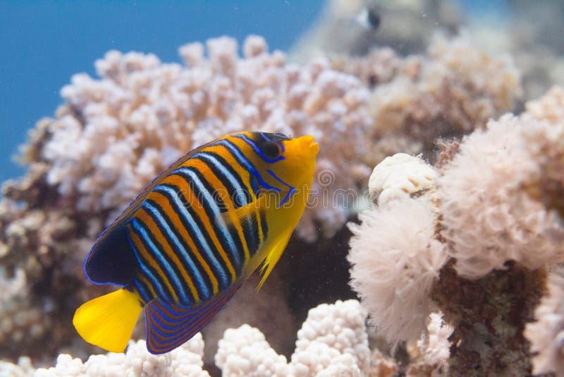 Kunglig havsängel på Coral Reef fotografering för bildbyråer