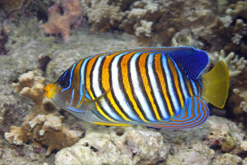 Kunglig havsängel, Pygoplites diacanthus som simmar över korallreven royaltyfria foton