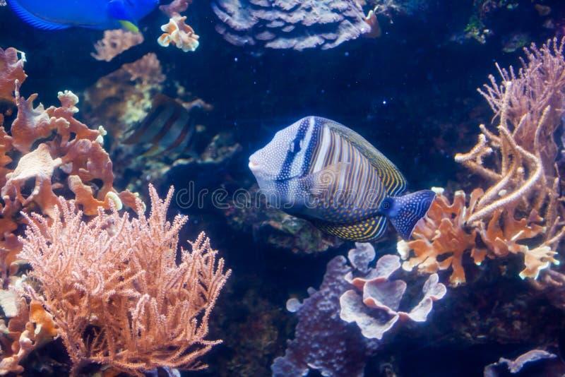 Kunglig havsängel - Pygopllites diacanthus Underbar och härlig undervattens- värld med koraller och den tropiska fisken arkivbilder