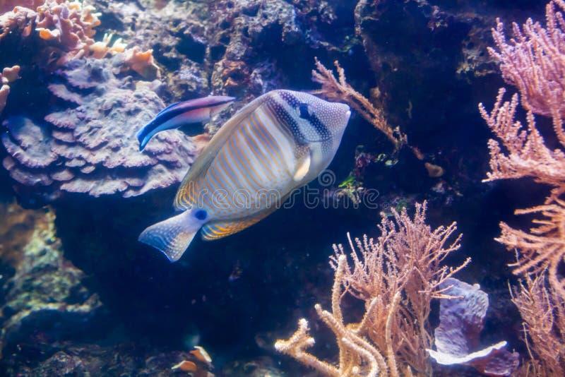 Kunglig havsängel - Pygopllites diacanthus Underbar och härlig undervattens- värld med koraller och den tropiska fisken royaltyfri foto