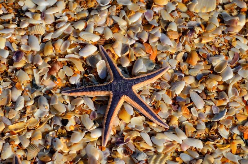 Kunglig havsstjärna på högen av små skal royaltyfri foto