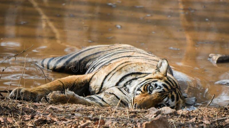 Kunglig indisk tiger royaltyfria foton