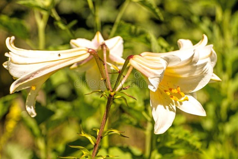 Kunglig lilja med blomman, medeltida symbol och medicinalväxten royaltyfria foton